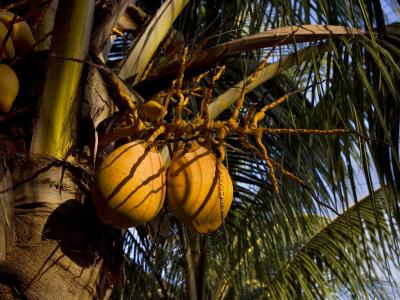 Falling coconut deaths | Coconut falling on head