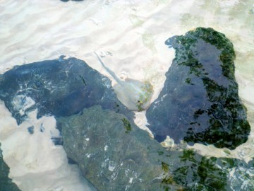 Ups! Sting Ray. Probably, the greatest animal threat on the desert island
