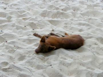 'Two Socks', the wild dog who lives on the desert's beach