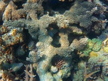 Coral reefs in Siroktabe