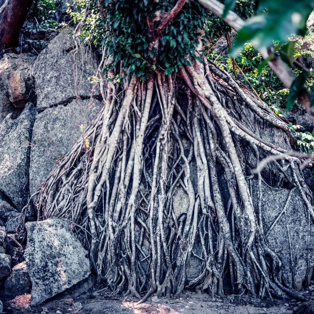 Árbol con curiosas raices en la playa del Hidden Beach Villa